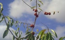 ثمار نبات الزيزفون