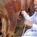 ط.ب. خالد ديبة ،كشف الحمل بالإيكو لدى الأبقار
