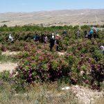 حقل أمهات الوردة الدمشقية في مشتل الدير عطية