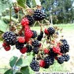 berry3