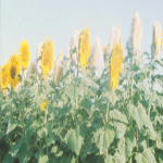 crops4.jpg