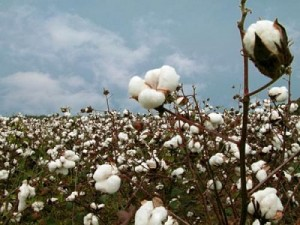 cotton-administration