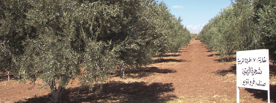 One of GCSAR's Agricultural experiments-olive.